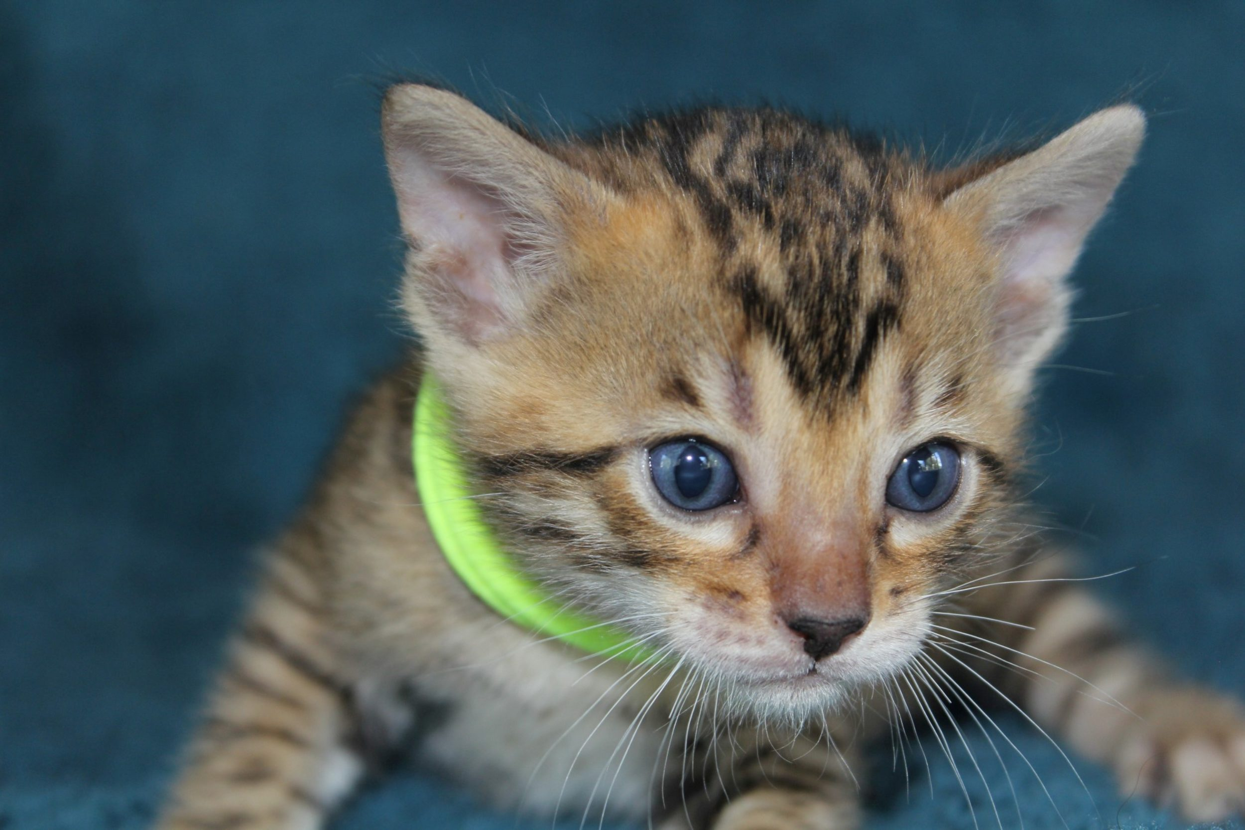 Photo 1 of Bailey the Bengal kitten.