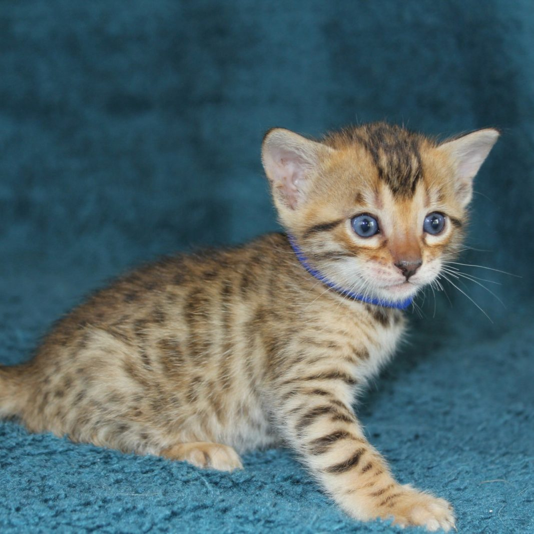 Photo 20 of Evora the female Bengal cat.