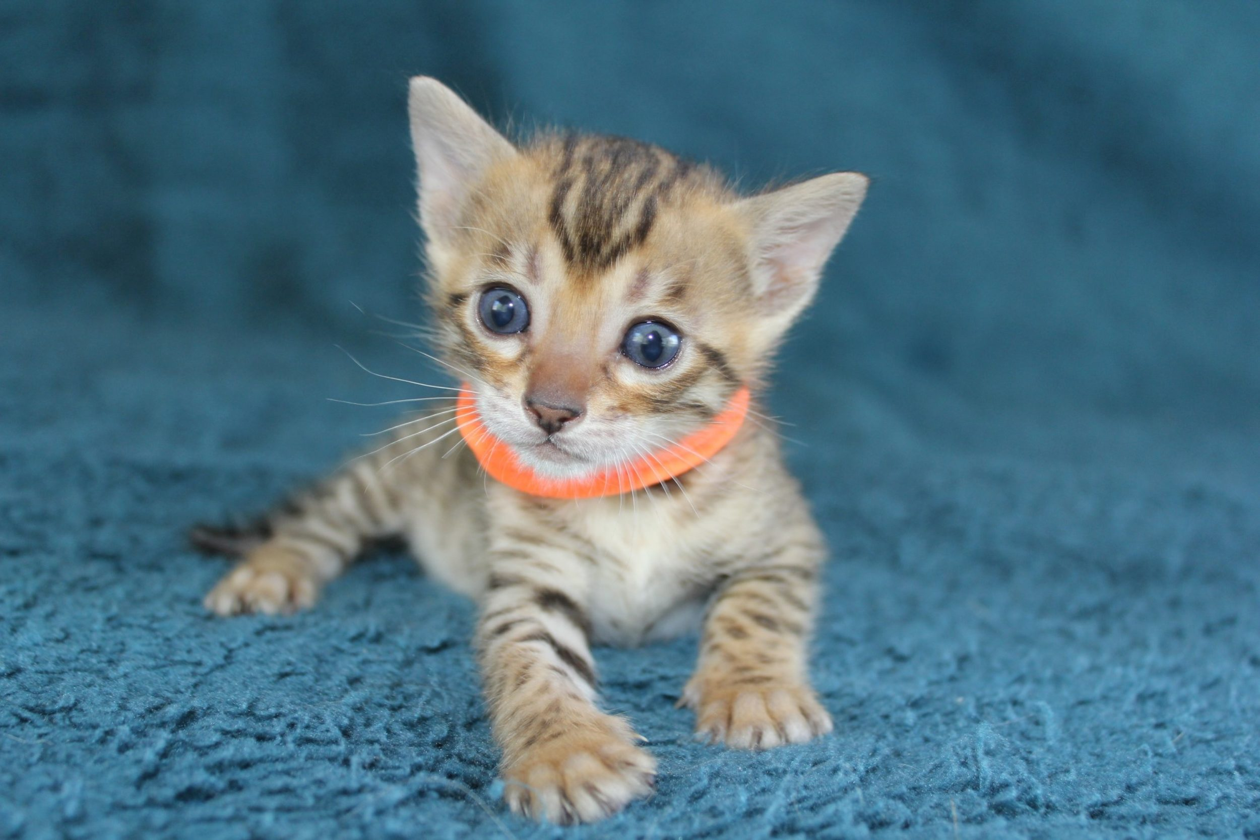 Photo 1 of Grace  the Bengal kitten.