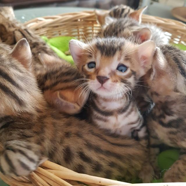 Photo 5 of Ellie and her Babies-Available the male Bengal cat.