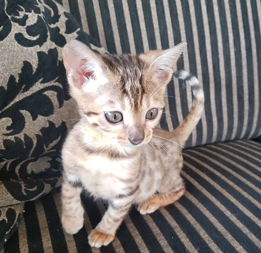 Photo 1 of Koko-SOLD the Bengal kitten.