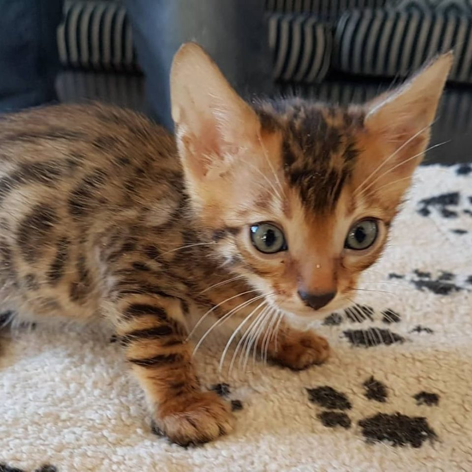 Photo 1 of Lucky-Available the male Bengal cat.