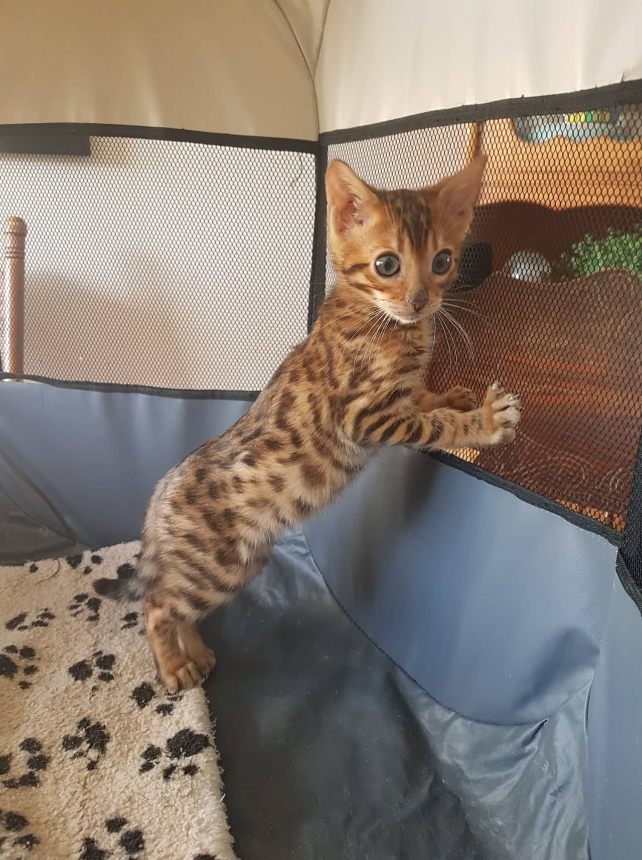 Photo 1 of Red'Za-SOLD the Bengal kitten.