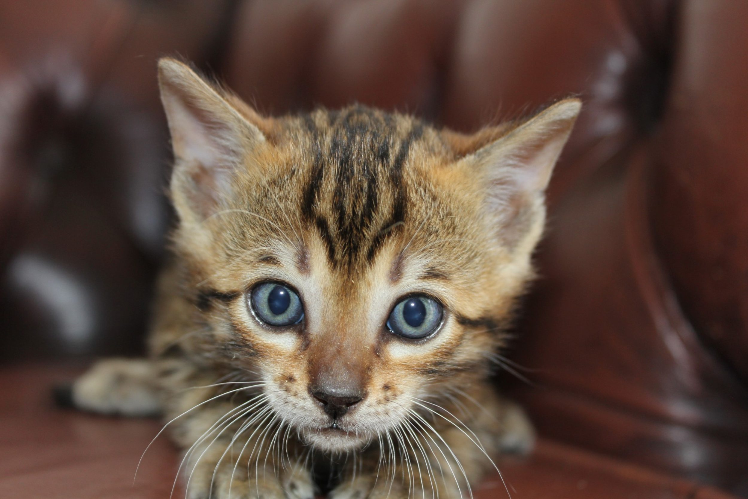 Photo 1 of Like a Rolling Stone the Bengal kitten.