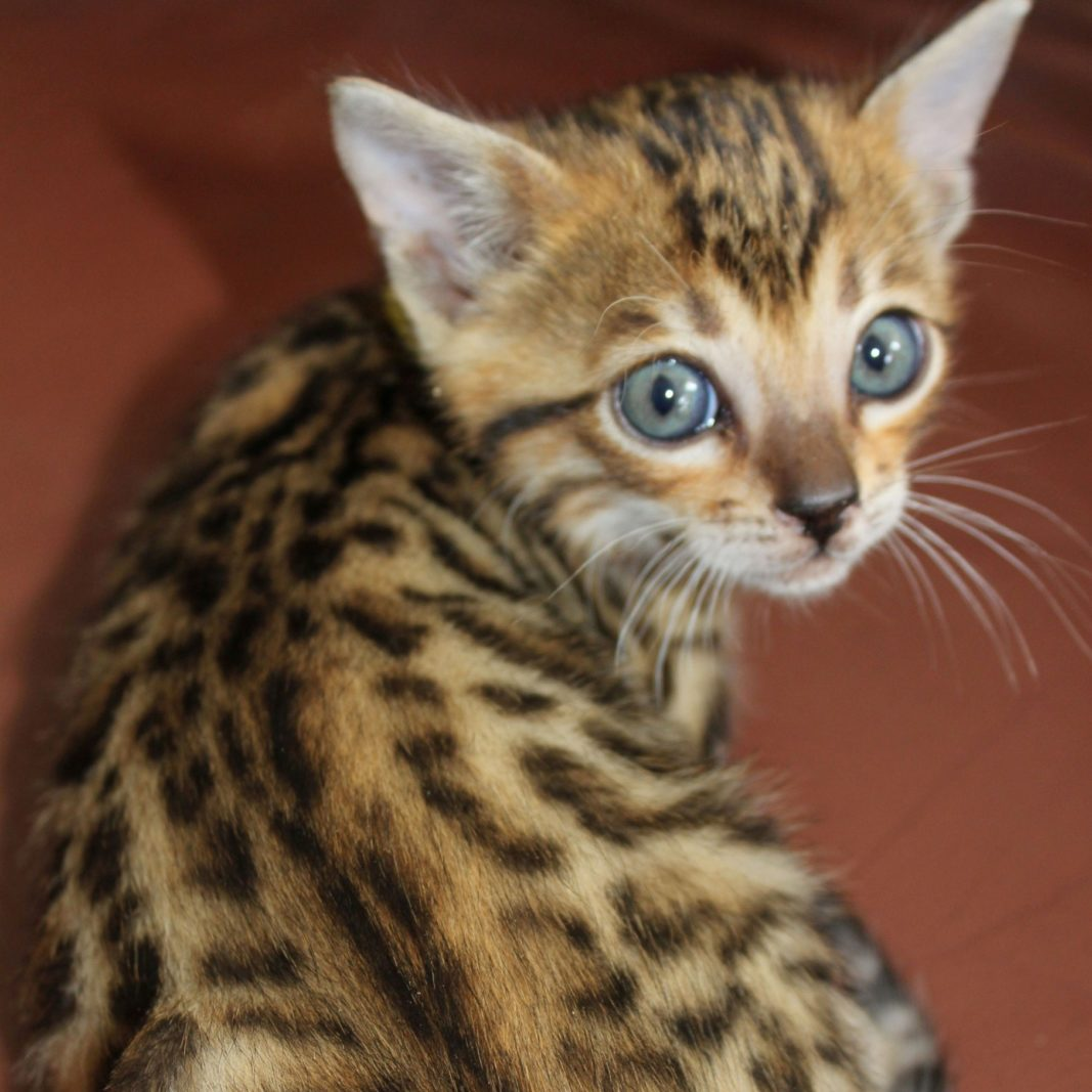 Photo 2 of Fool to Cry the male Bengal cat.