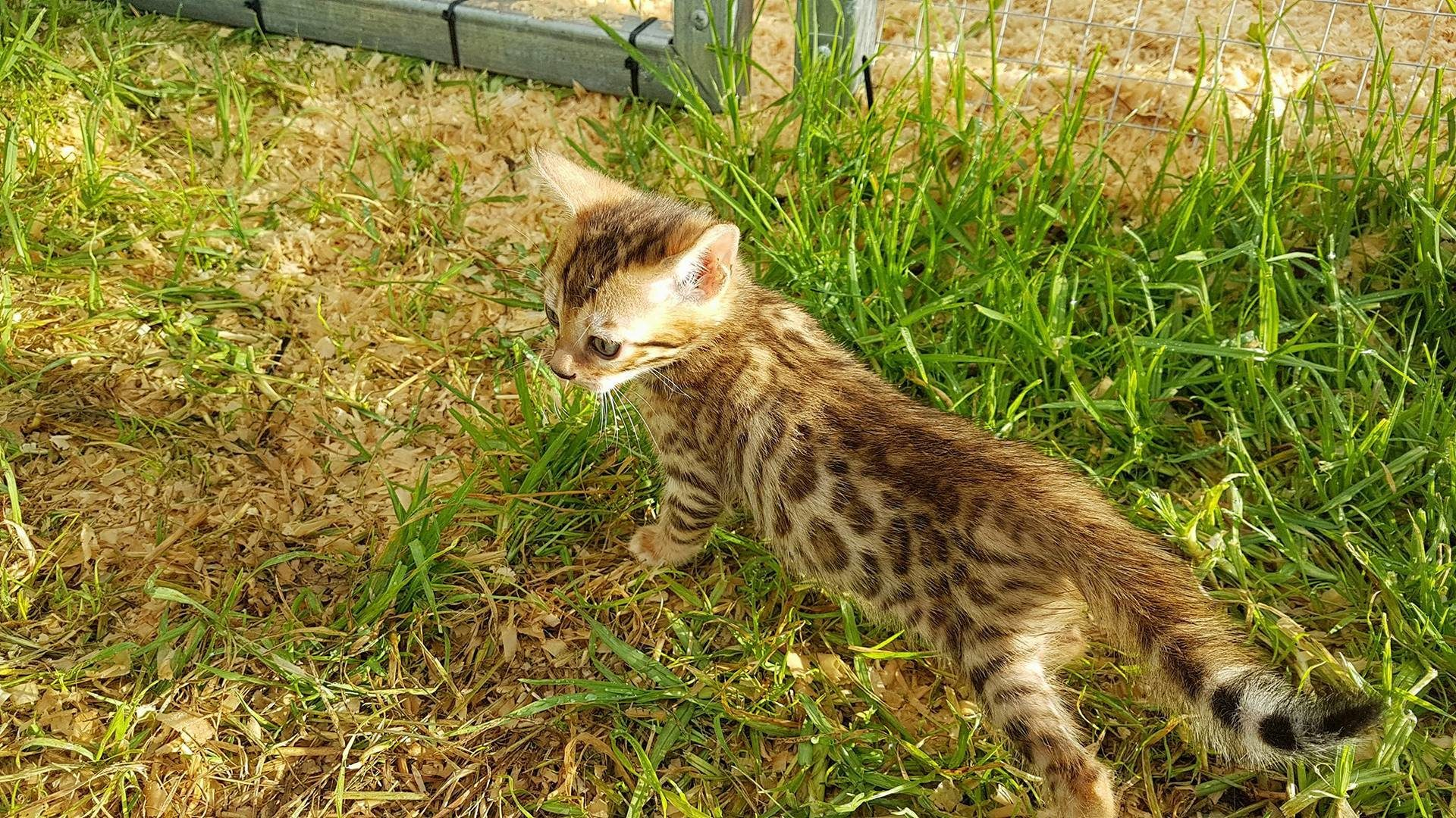 Photo 1 of Happy feet the Bengal kitten.