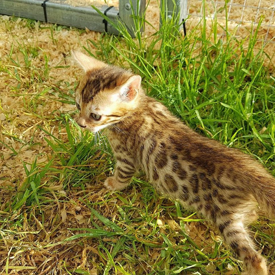 Photo 18 of Happy feet the male Bengal cat.
