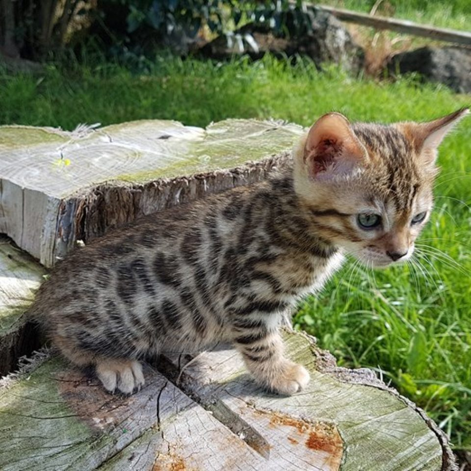 Photo 18 of Musketeer the female Bengal cat.