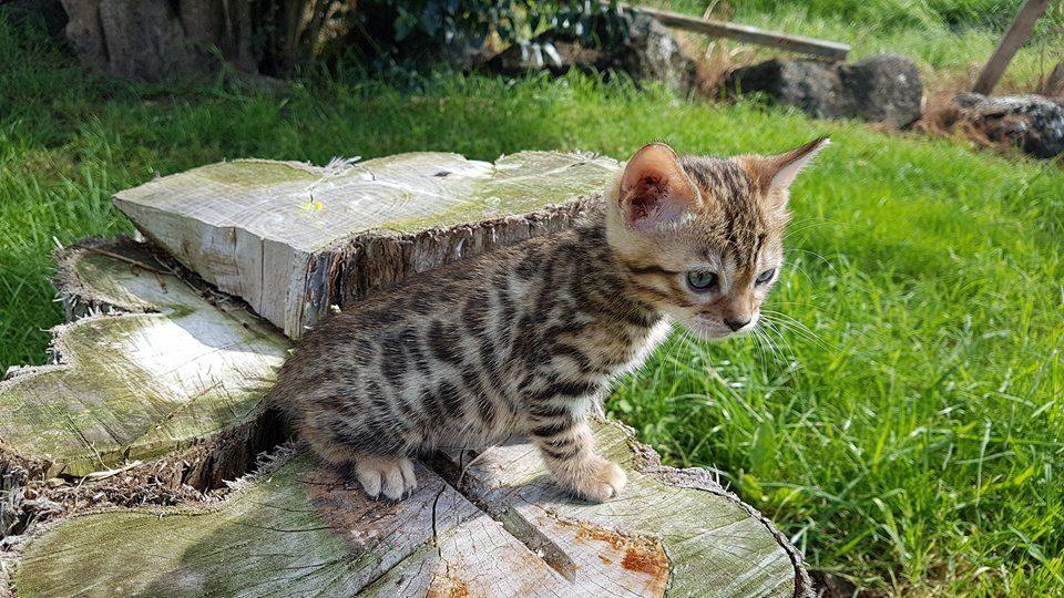 Photo 1 of Musketeer the Bengal kitten.
