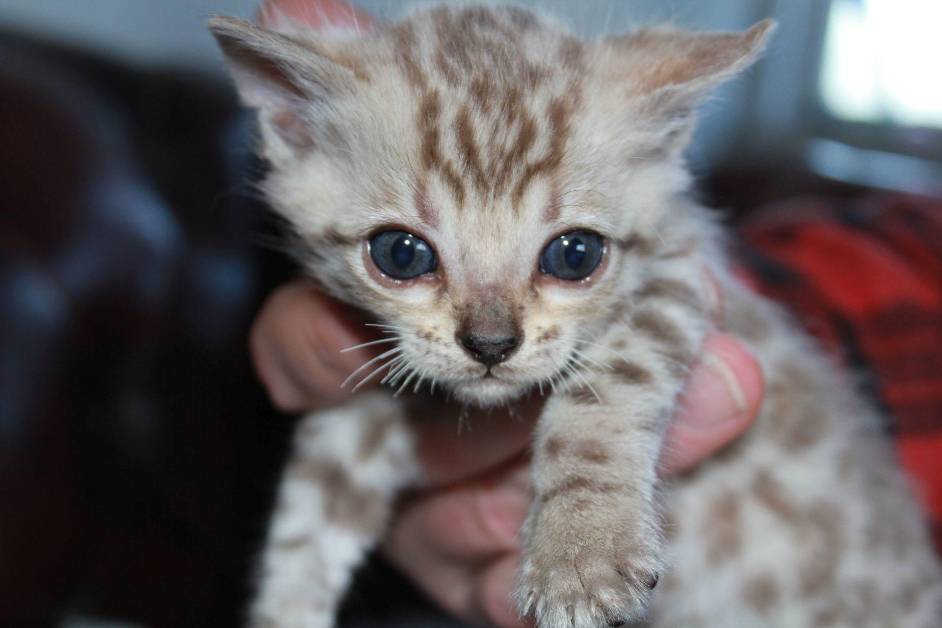 Photo 2 of el-capitan the Bengal kitten.