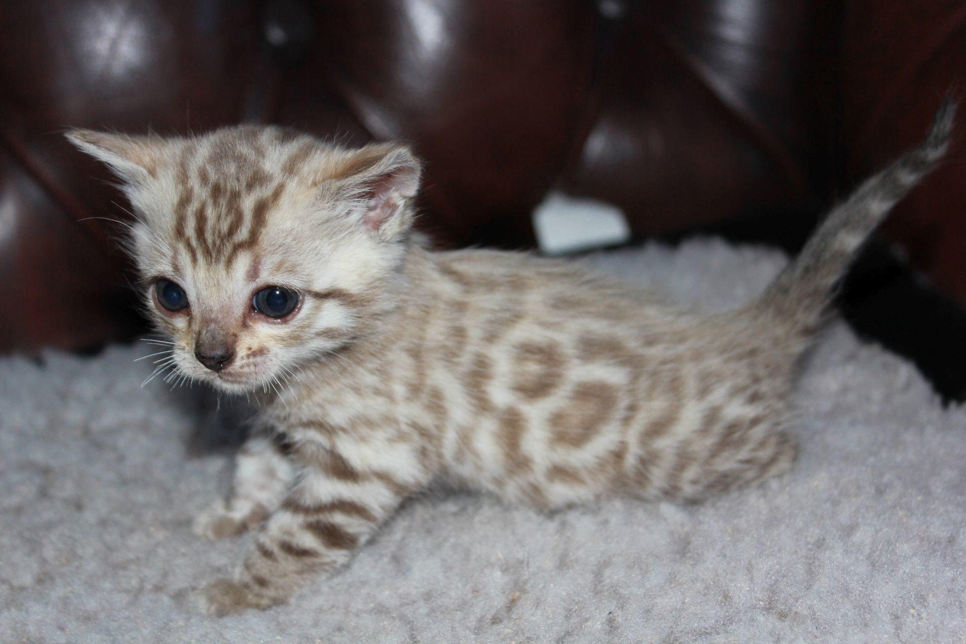 Photo 1 of el-capitan the Bengal kitten.