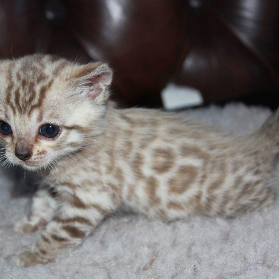 Photo 10 of el-capitan the male Bengal cat.