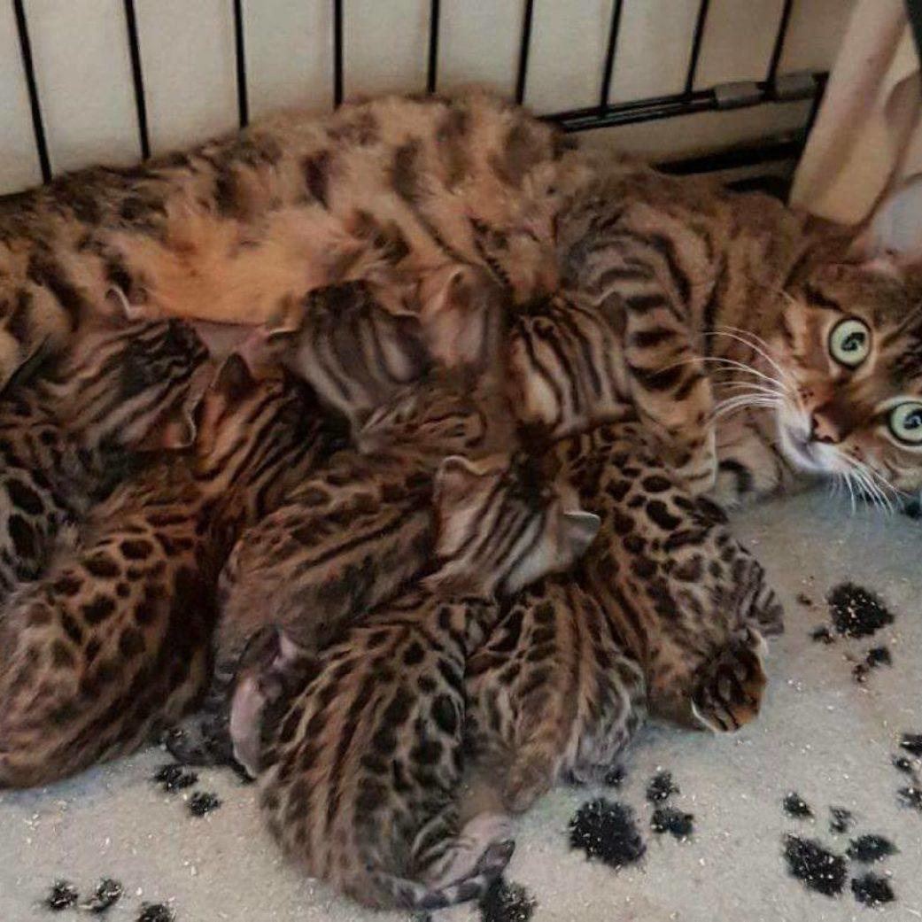 Photo 1 of Hazel The Tattooed Lady's Kittens the female Bengal cat.