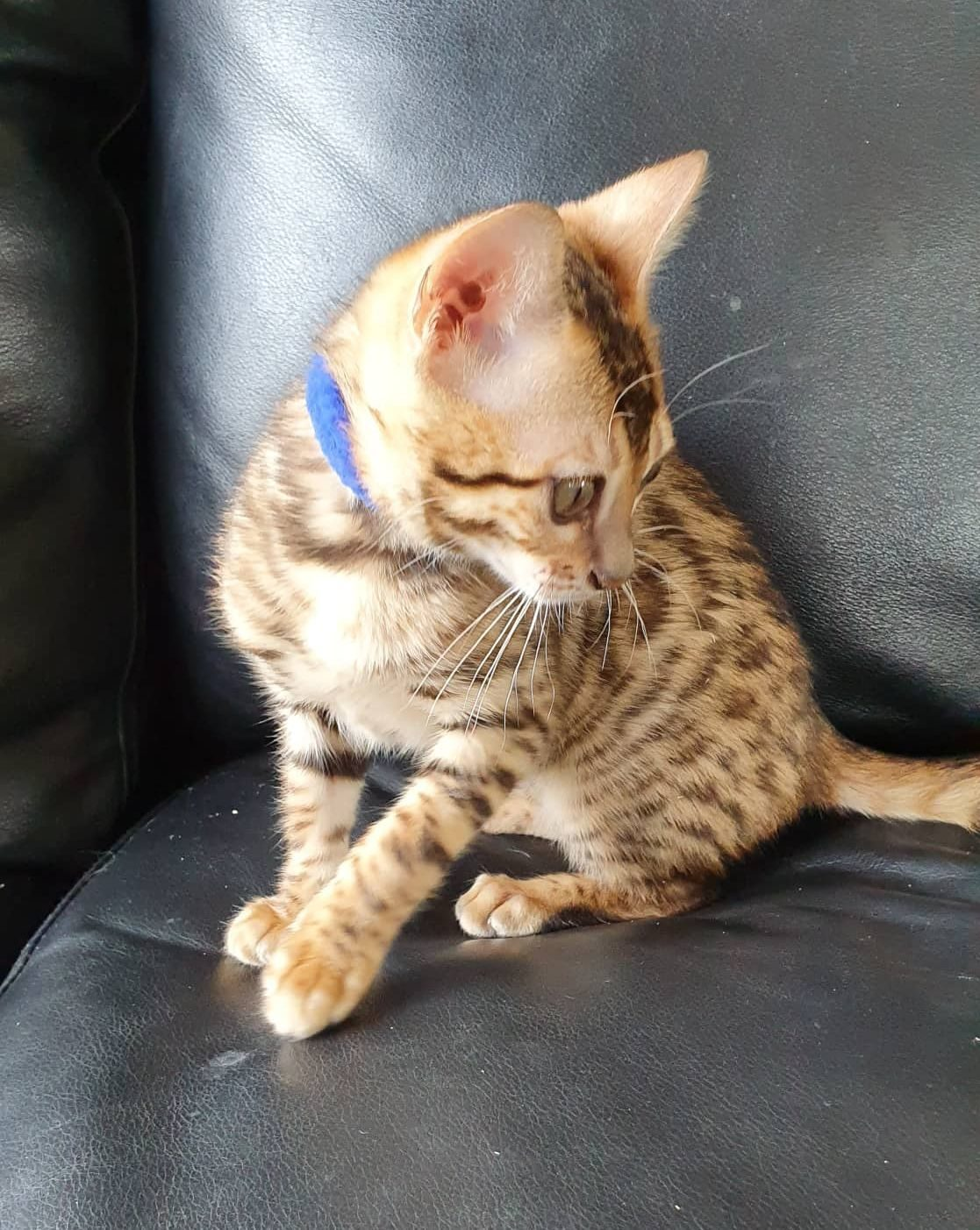 Photo 1 of Dancing Queen-SOLD the Bengal kitten.