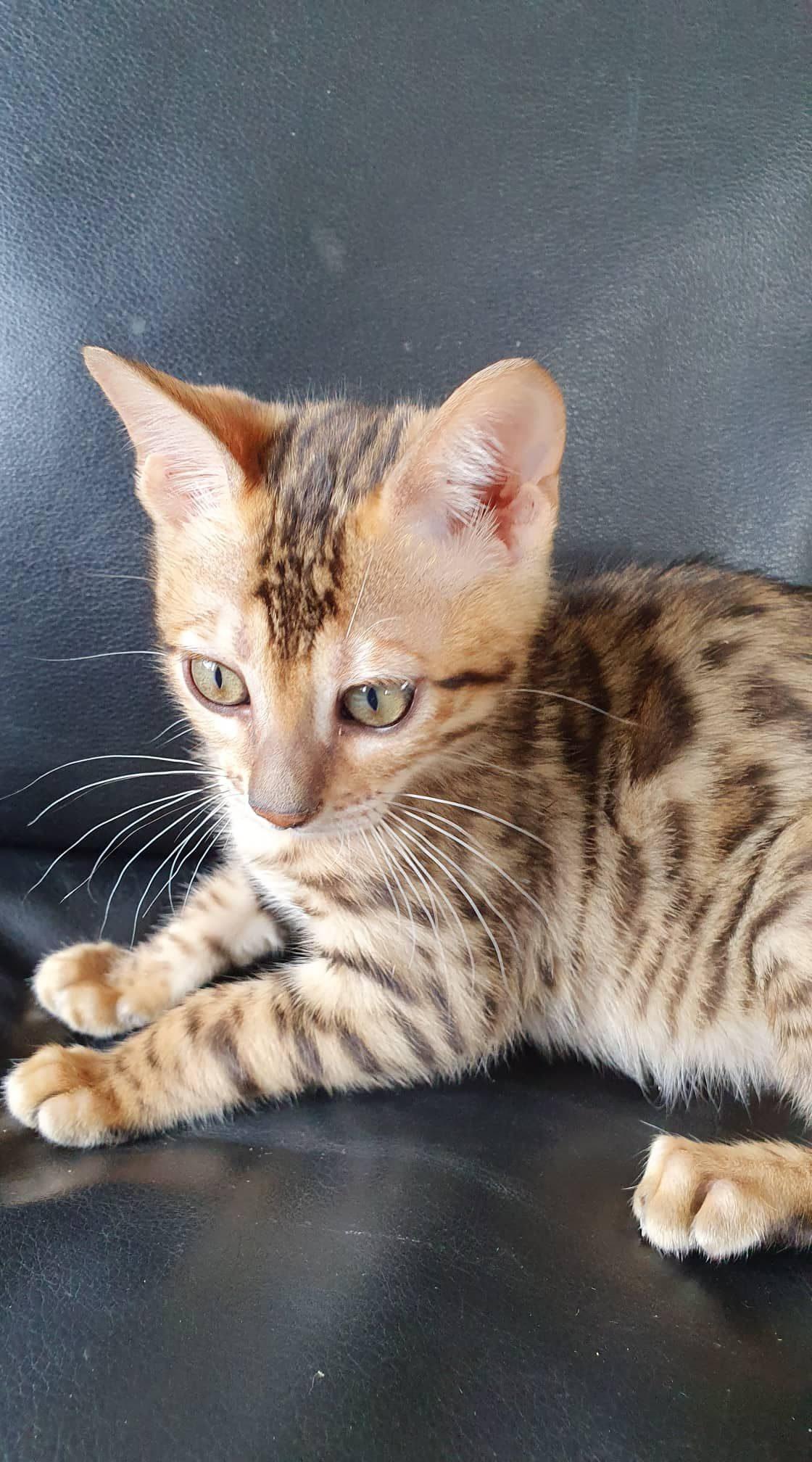 Photo 2 of Dancing Queen-SOLD the Bengal kitten.
