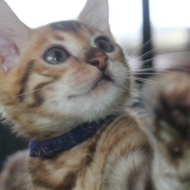 Photo 4 of Blue Sundays-SOLD the female Bengal cat.