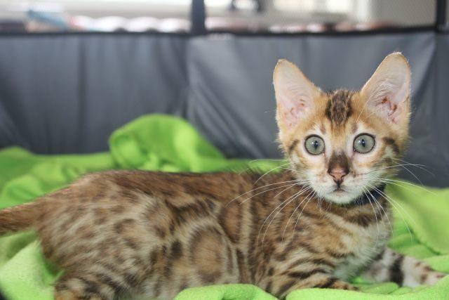 Photo 3 of Blue Sundays-SOLD the Bengal kitten.