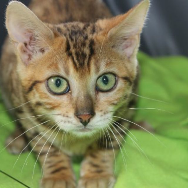 Photo 7 of Easy Going-SOLD the female Bengal cat.