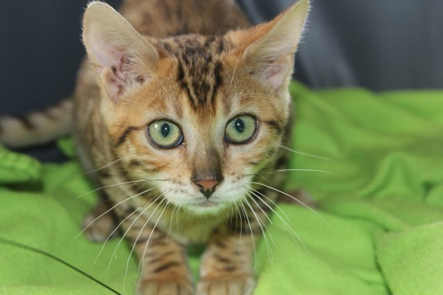 Photo 1 of Easy Going-SOLD the Bengal kitten.