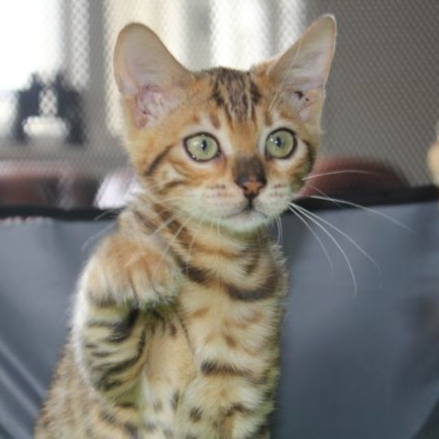 Photo 3 of Take it Easy-SOLD the female Bengal cat.