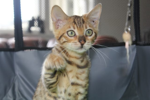 Photo 1 of Take it Easy-SOLD the Bengal kitten.