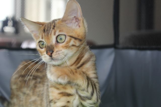 Photo 2 of Take it Easy-SOLD the Bengal kitten.