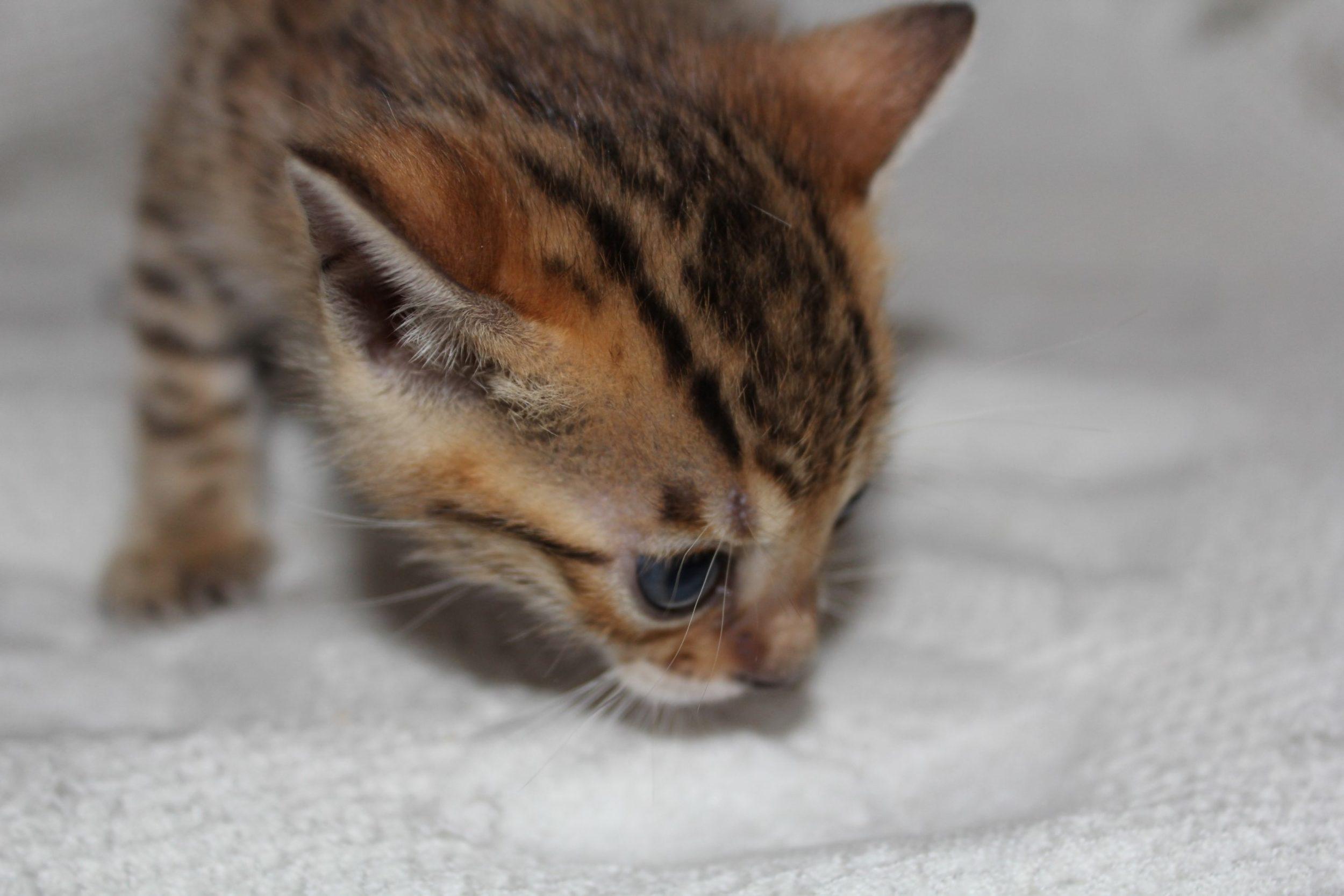 Photo 1 of Amigo the Bengal kitten.